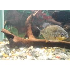 1 piranha fish for sale call 7606678 | iBay