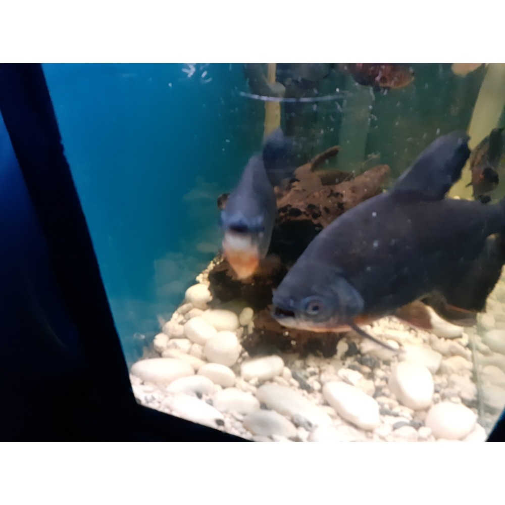 2 Big pacu for sale call 7606678 | iBay