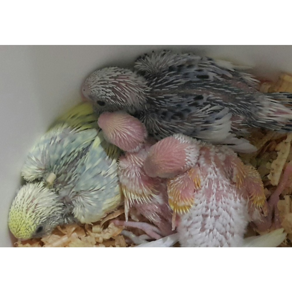 Baby budgies for sale Call:9888813 | iBay